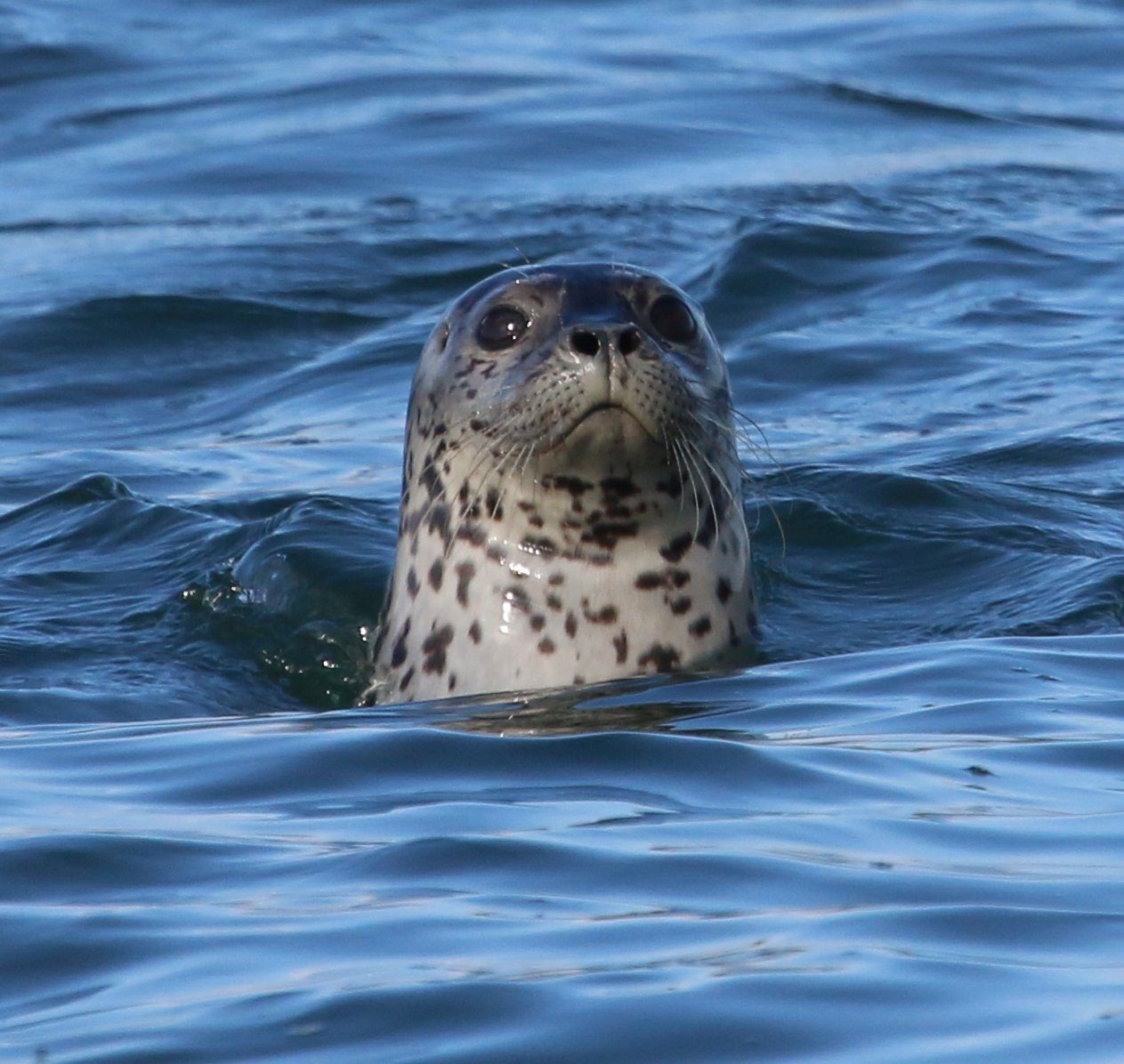Harbor Seal 1.jpg