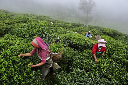 Women pick tea leaves by hand at tea garden in Darjeeling, India.