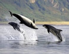 Scotland's Moray Firth is home to a large population of bottlenose dolphins.