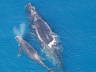 North Atlantic Right Whale mother and calf (Photo courtesy of Wikimedia Commons/NOAA)